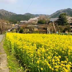 大原の春・菜の花