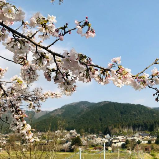 大原の春・桜