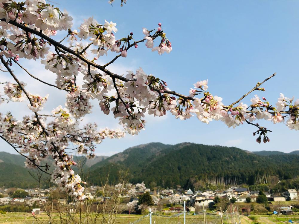 桜開花 2021