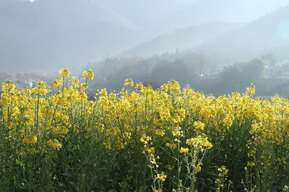 【募集】1月21日(水)菜の花の移植作業のボランティア