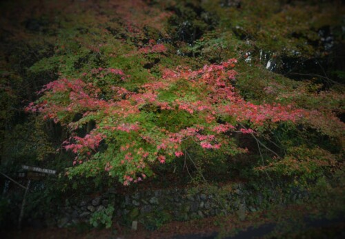 芹生 紅葉