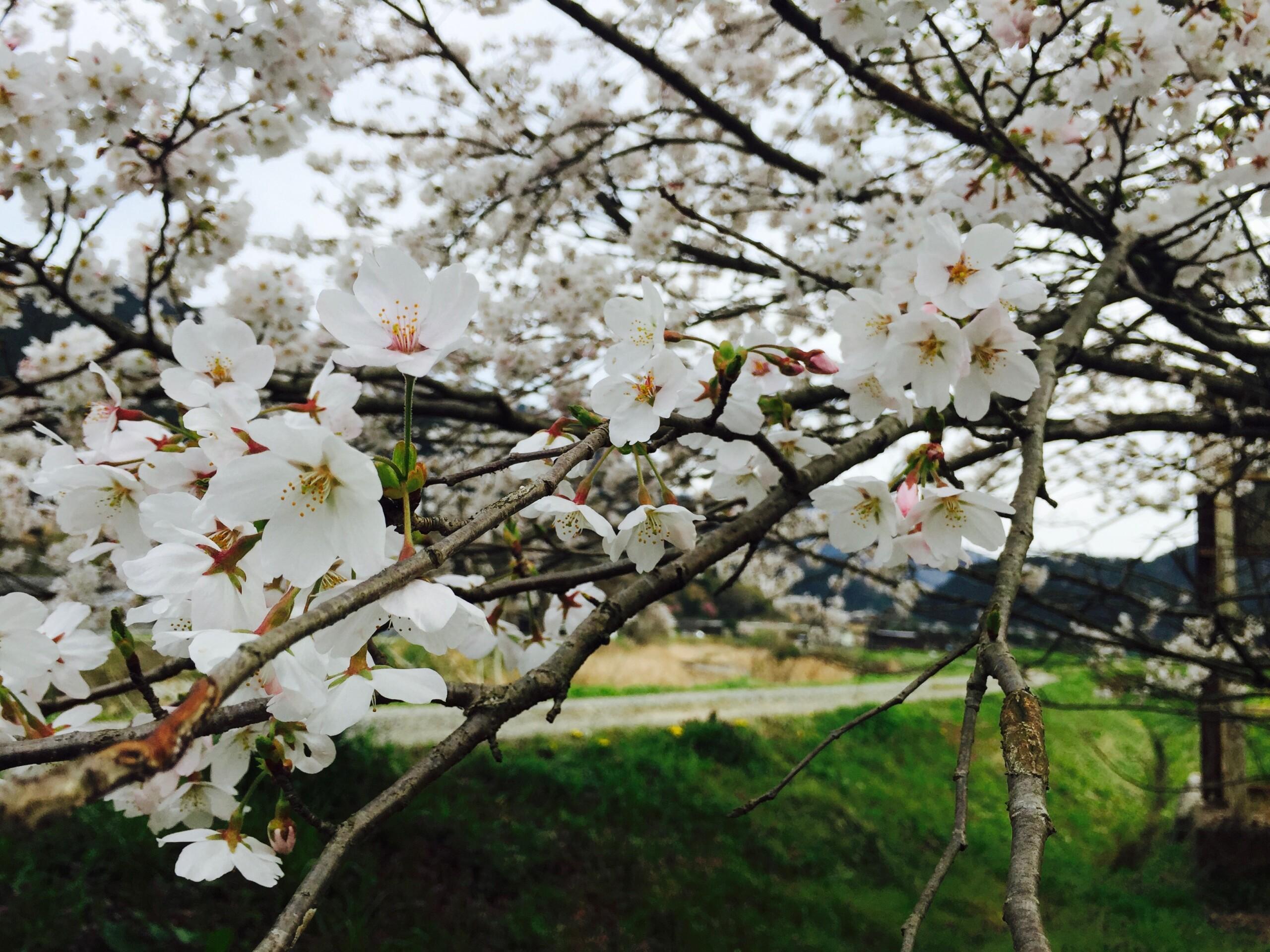 大原の桜の開花はいつ?菜の花の見頃は?