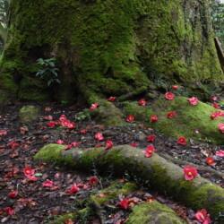 花尻の森 椿