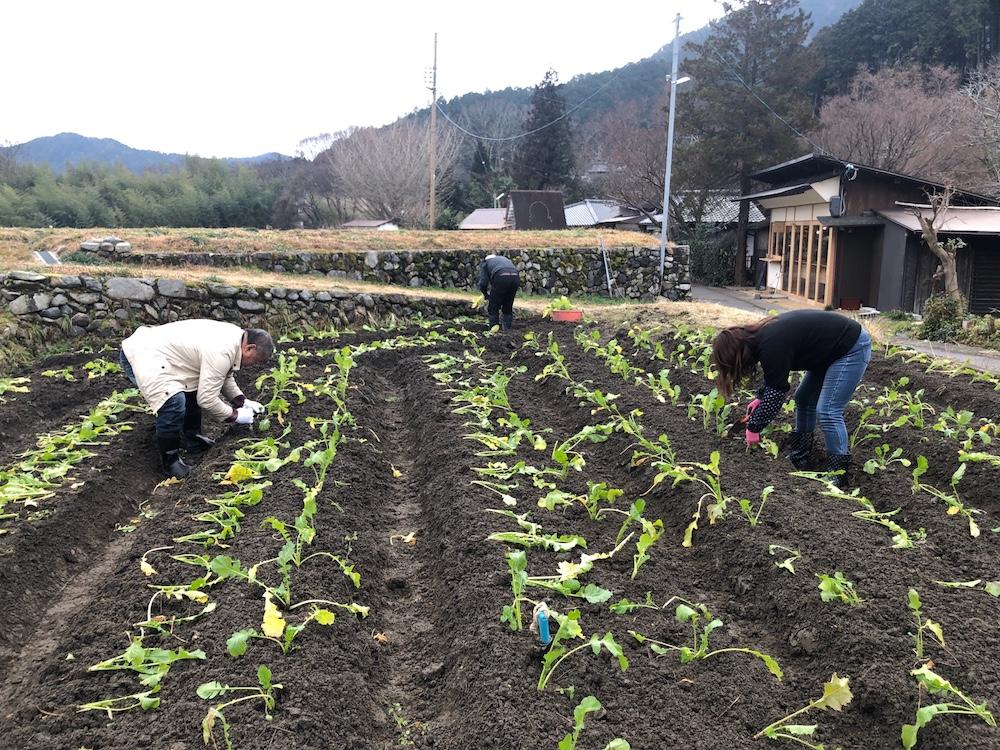 菜の花植え